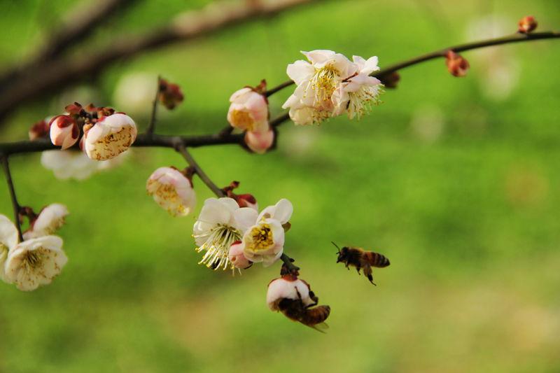 蜜蜂戏梅花 花卉草木 36行社区 bbs.01ny.cn -摄影资讯 摄友聊吧 地区