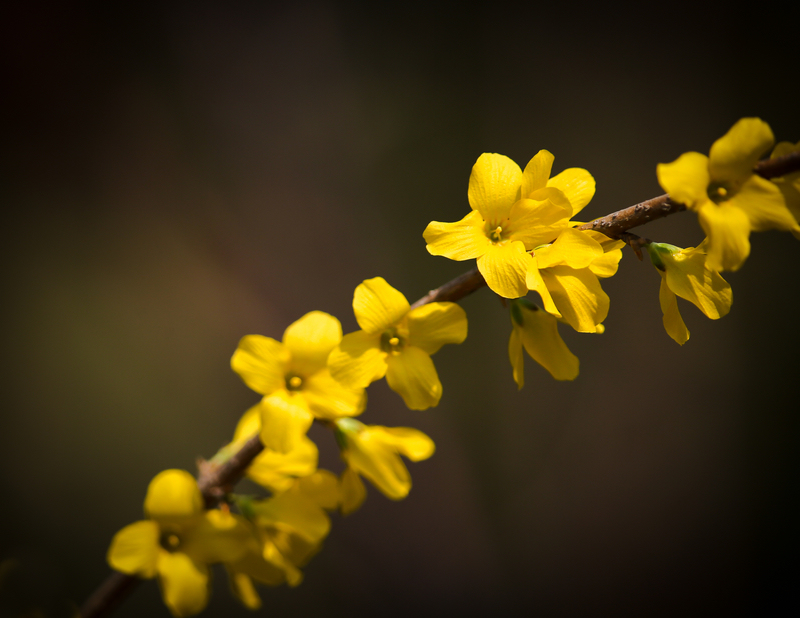 [济南] 迎春花
