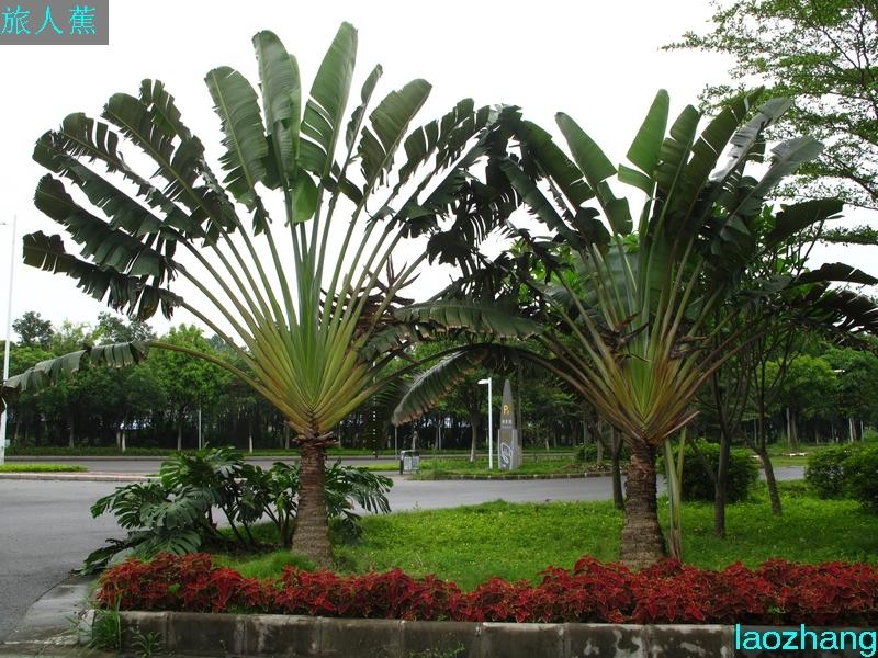 芭蕉树平面图