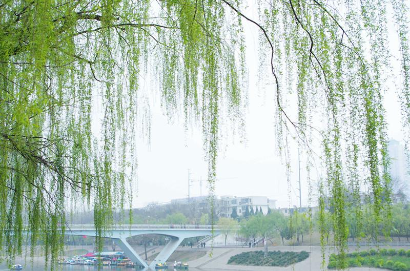 湛河春天的垂柳图片