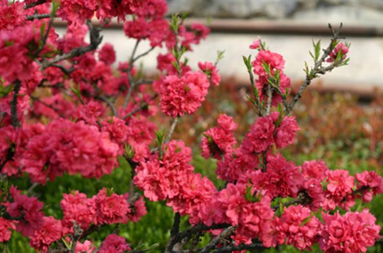 阳春三月桃花雨
