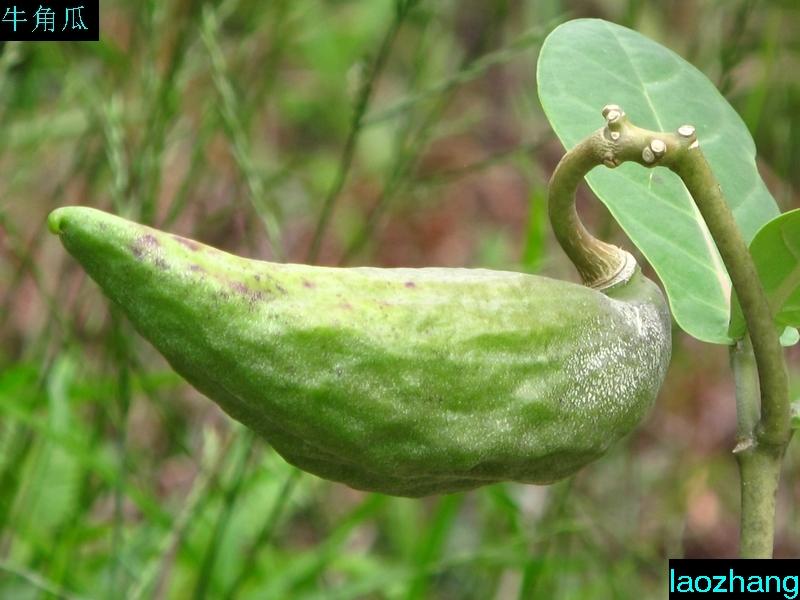 牛角瓜怎么吃_牛角花的做法_做法大全_一亩田农业网