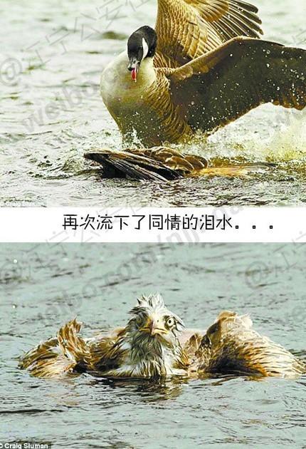像鹅 叫豚的动物 图片