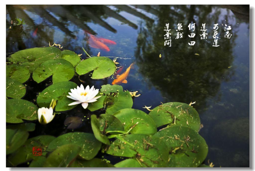 鱼戏莲叶间(二)图片