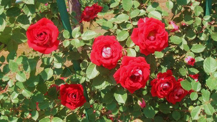 红月季蓓蕾代表可爱.