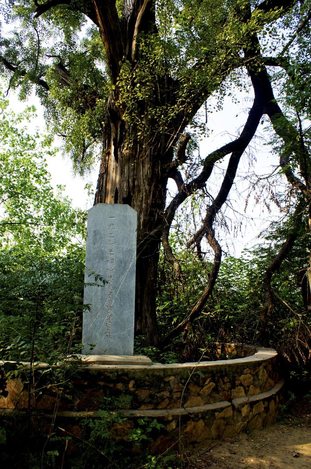 桐柏固县镇千年古树[银杏树]拍摄活动----古银杏树