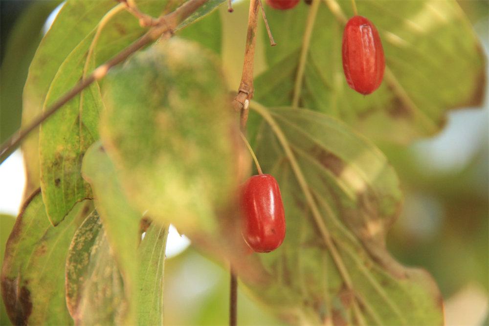 长在树上的中药材——山萸肉(西峡银树沟的宝贝)