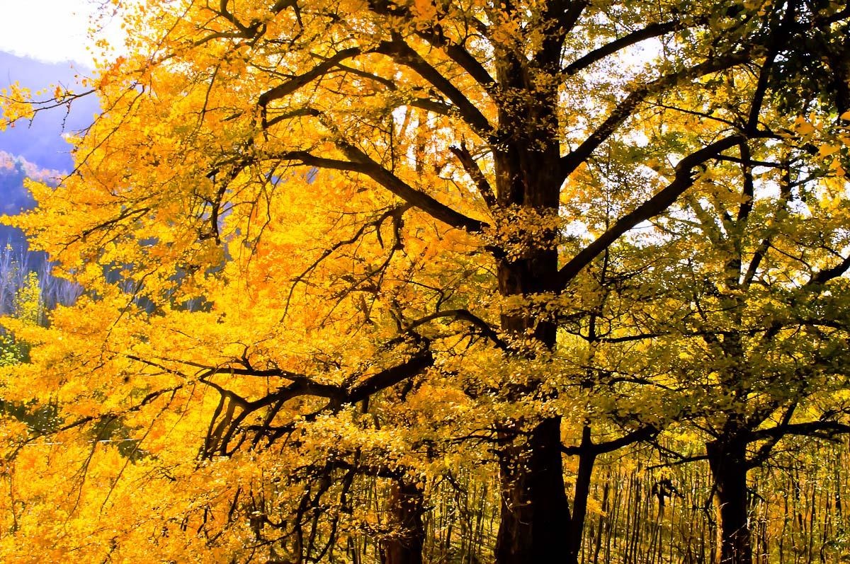 壁纸 风景 森林 银杏 银杏树 银杏叶 桌面 1200_797