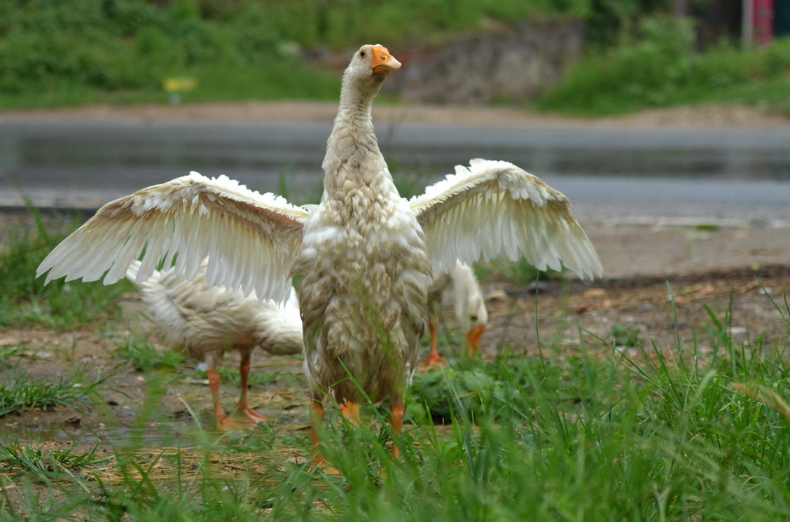 """白鹅亮翅 陈式太极的白鹤亮翅怎么打中记载:""""如白鹅之鸟舒展羽翼象形"""