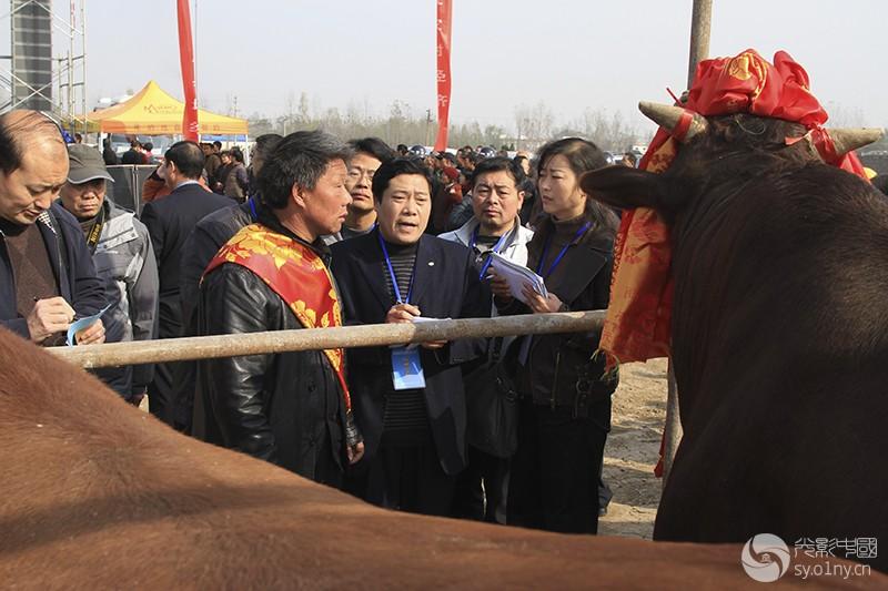 2010年11月15日,河南省郏县第六届红牛节上,专家;评委正在评选最美红牛。 (5).JPG