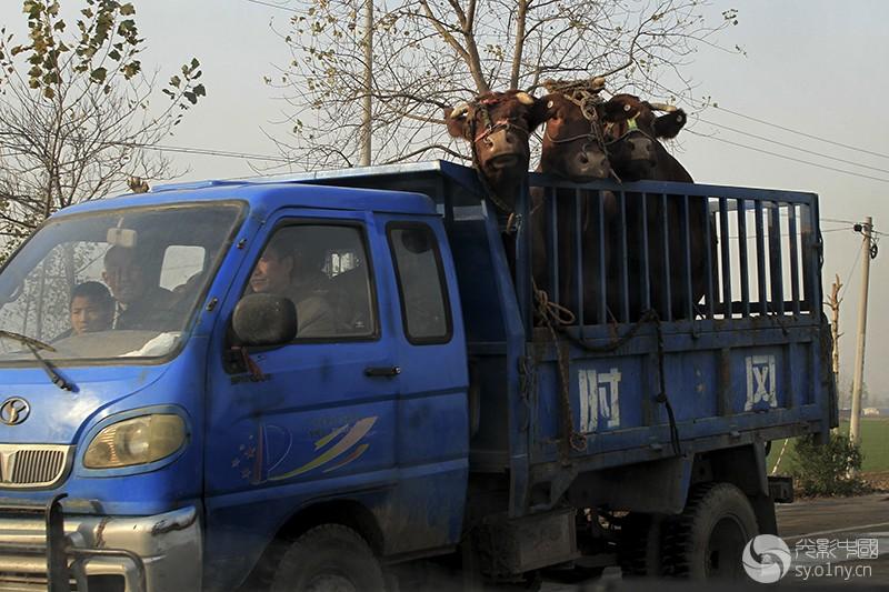 2010年11月15日,河南省郏县农民开着农用车拉着红牛去参加选美。 (7).jpg