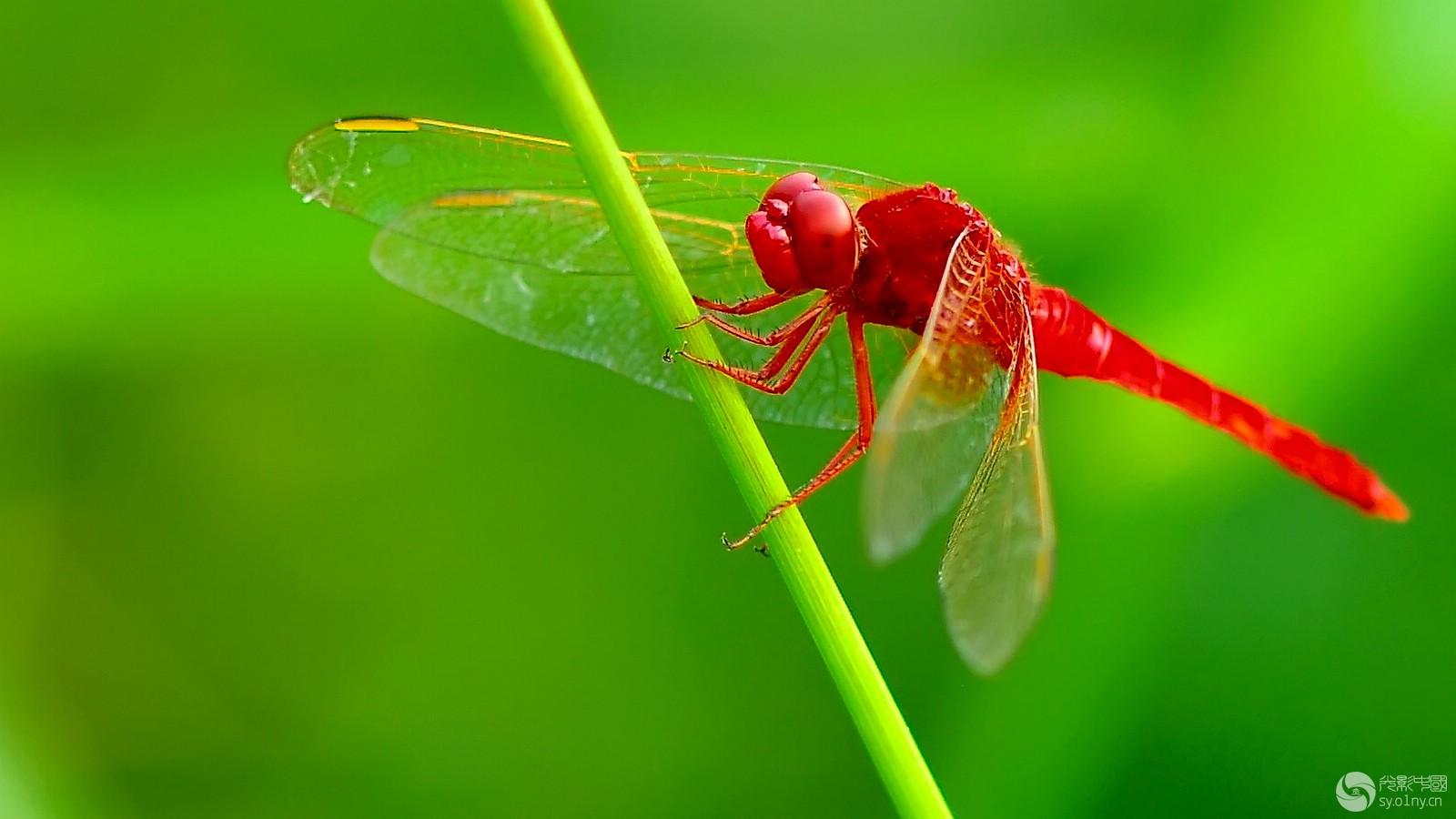 红蜻蜓.jpg