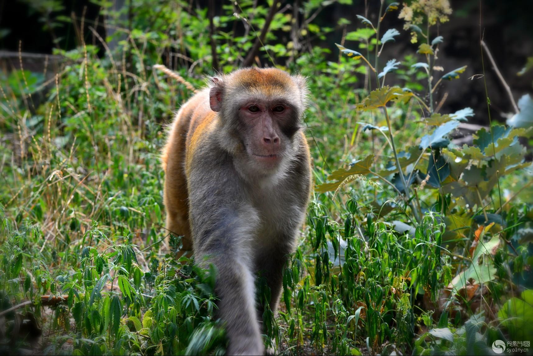 关山猕猴2A.jpg