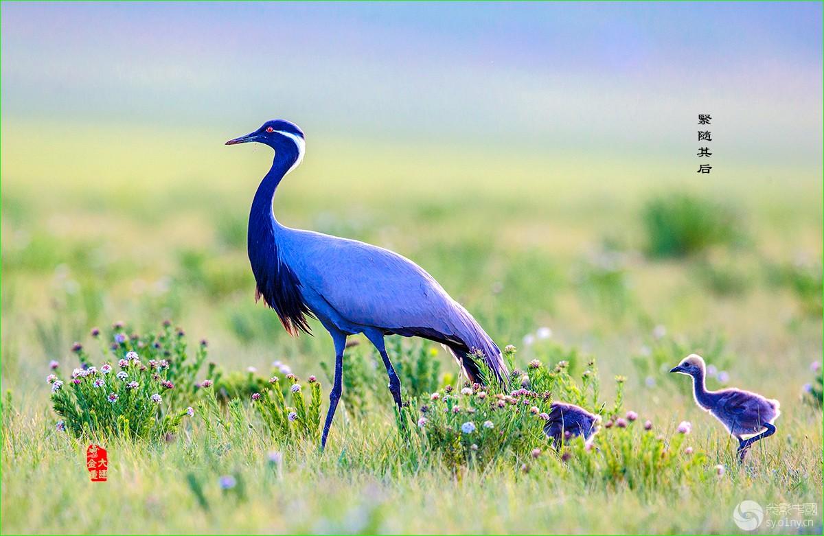 《漫步草原》—— 蓑羽鹤
