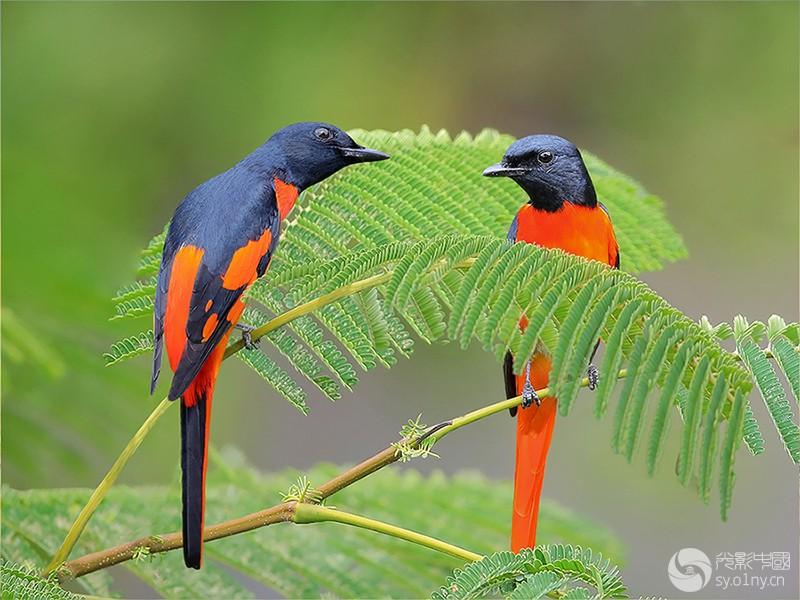 赤紅山椒鸟a.jpg