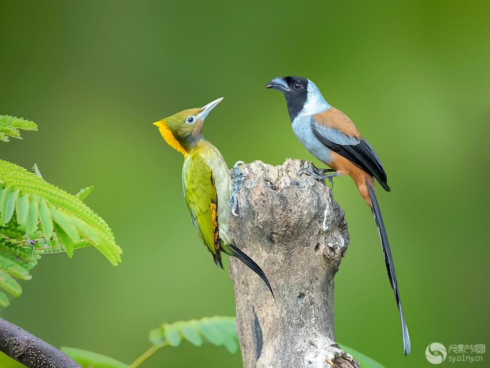 大黄冠啄木鸟与黑额树鹊C.jpg