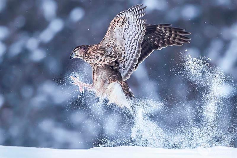 风驰电掣---苍鹰.jpg