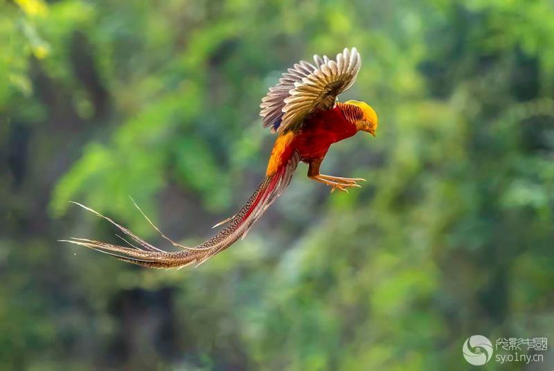 火凤凰----红腹锦鸡.jpg