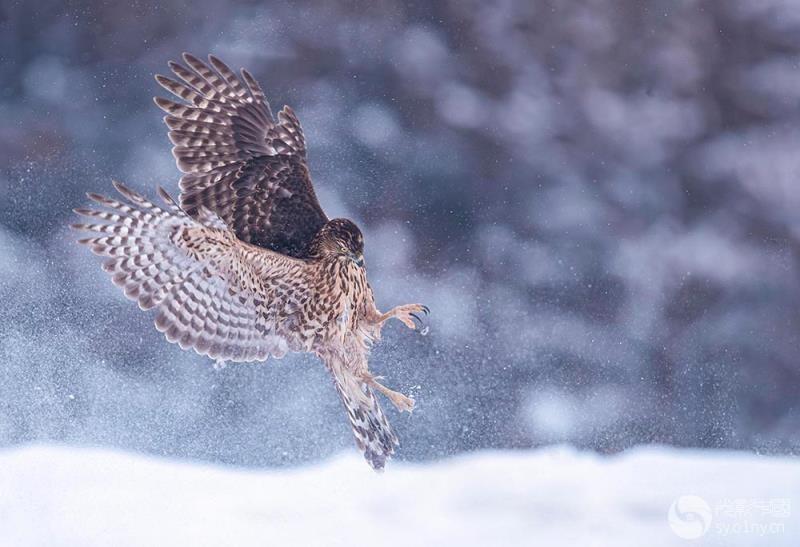猎捕---苍鹰.jpg