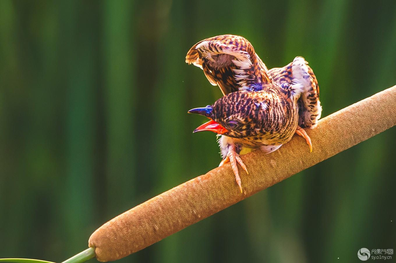 杜鹃幼鸟----嗷嗷待哺
