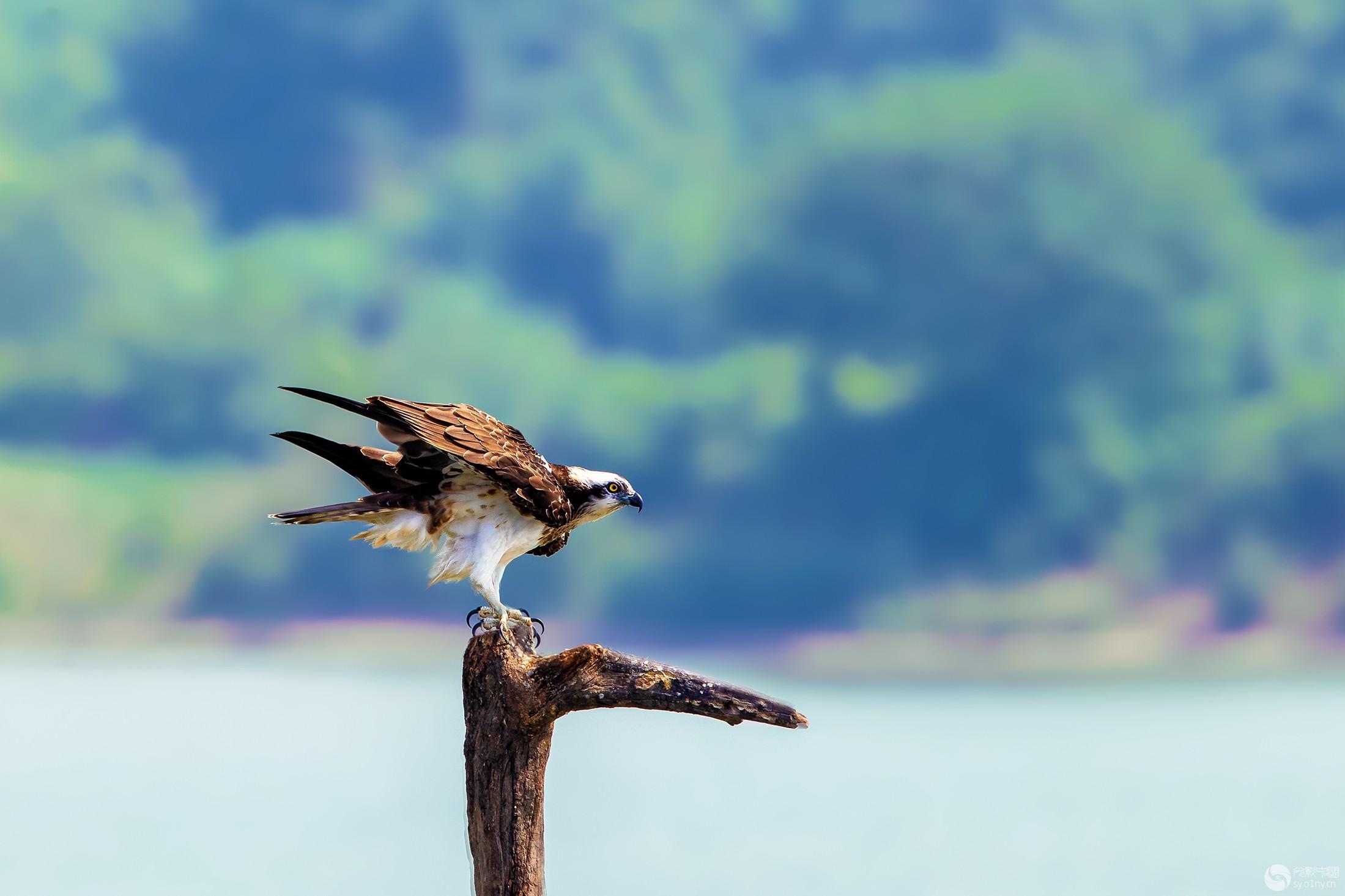 鱼鹰----振翅欲飞