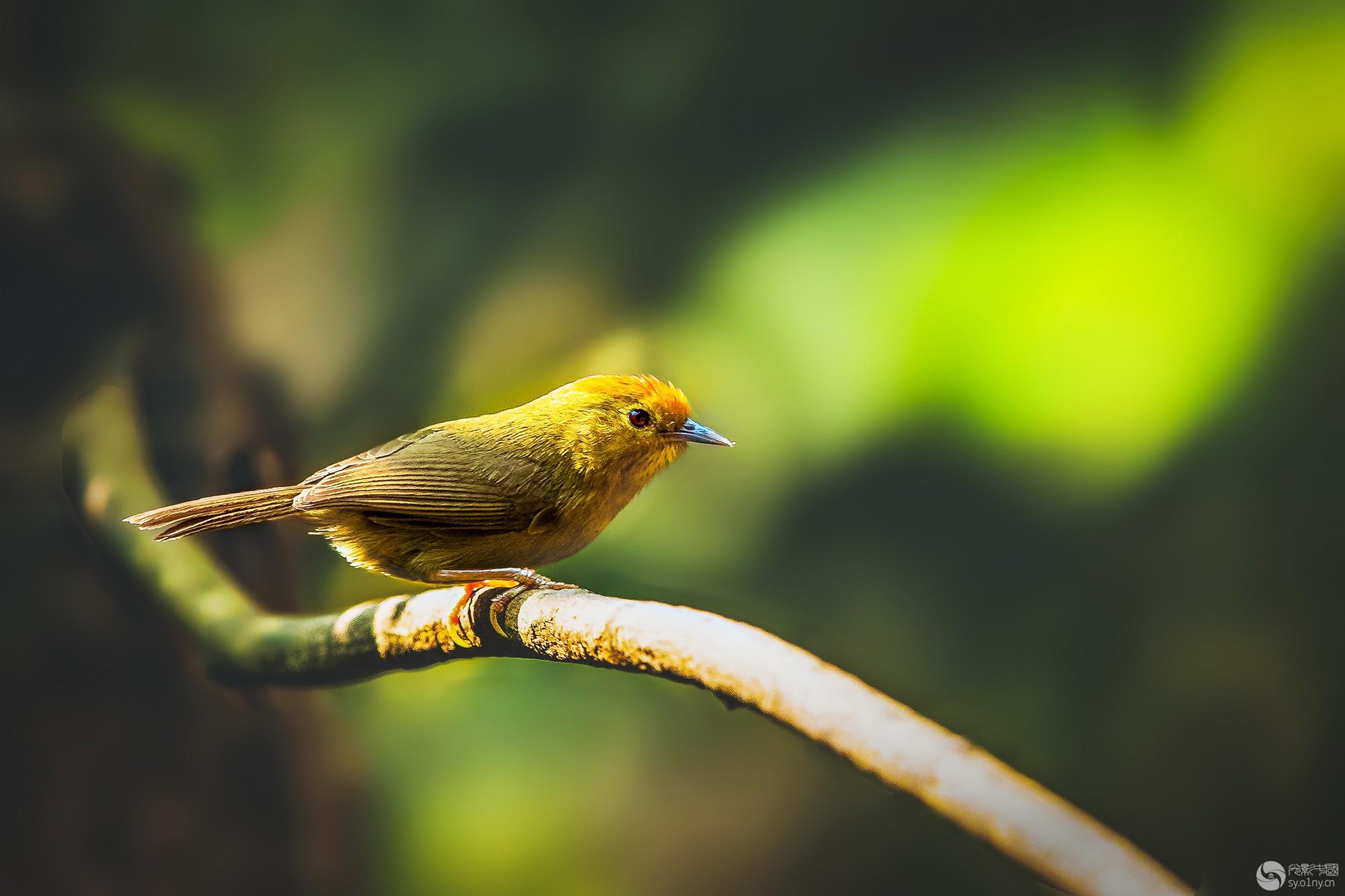 红头穗鹛----沐浴晨光