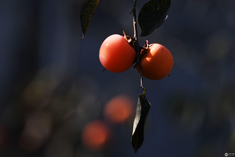柿子红了_副本.jpg