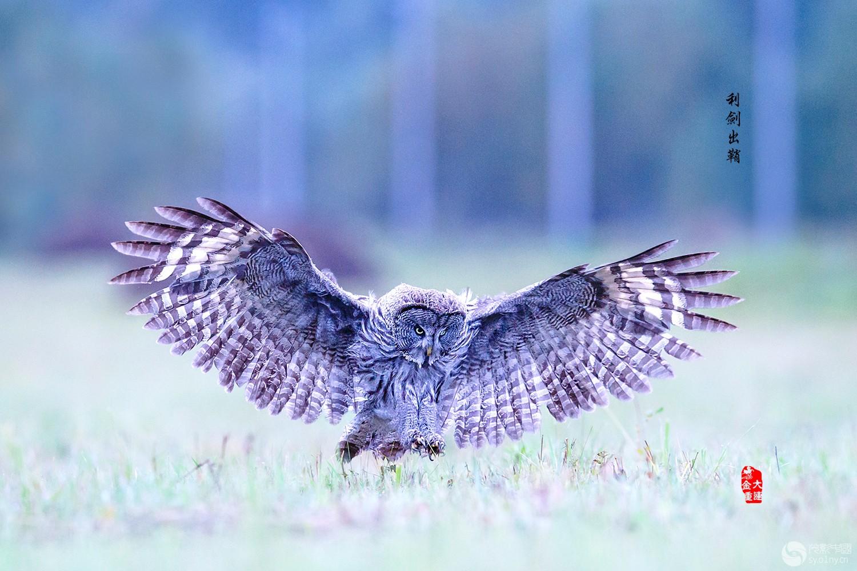 《扬眉剑出鞘》—— 乌林鸮