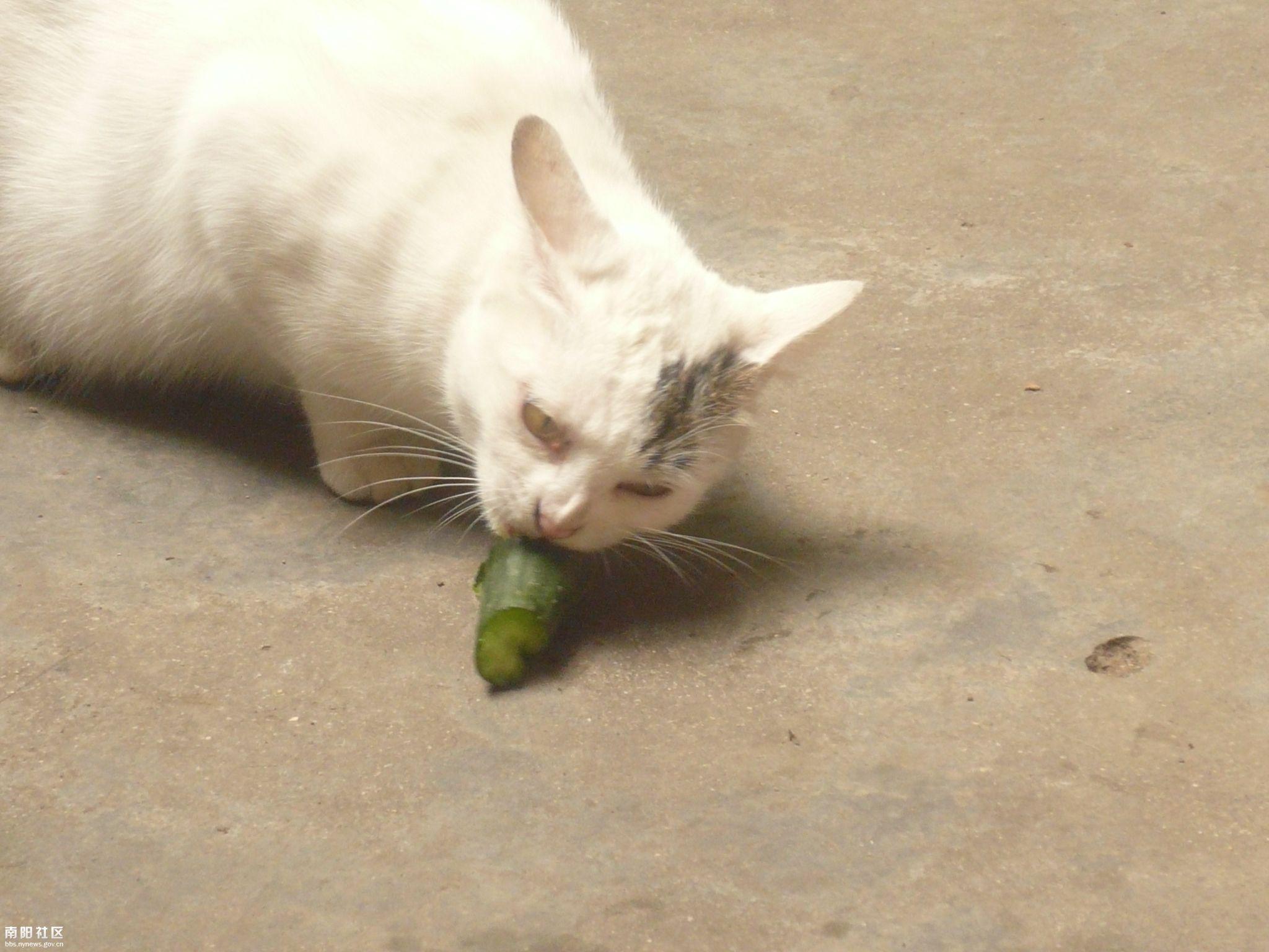 稀奇 一个喜欢吃黄瓜的小猫!