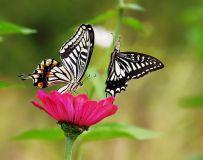 两只蝴蝶21.3