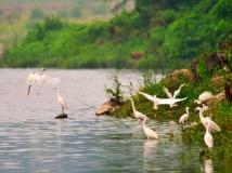 丹江湖岸边的白鹭群