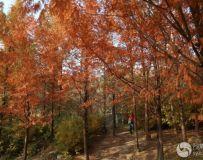 北京奥林匹克公园红杉树(3)