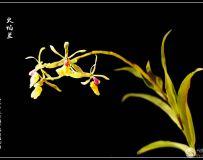 火焰兰 花