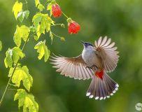 灯笼花与鸟儿