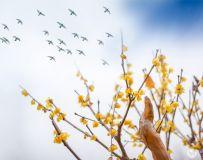 腊梅喜迎春