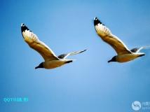 青海湖海鸥。