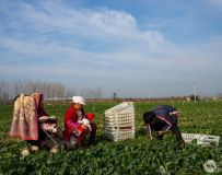 云南摘菜工在鲁山