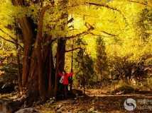 秋之银杏树
