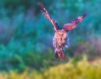 乌林鸮----凌空展翅