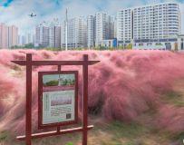 城市的风景——粉黛草(1)