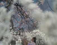 樱桃花开美人来