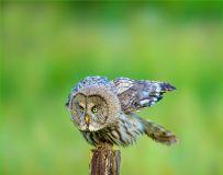 《表情各异》—— 乌林鸮