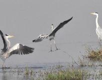 白河拍鸟一7