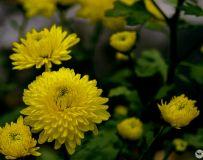 黄花朵朵开