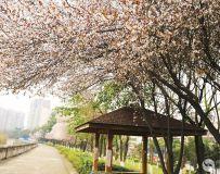 红叶李花开,春意满果城
