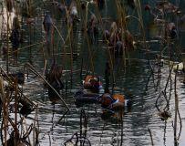 深秋的颐和园—《南堤湖鸳鸯》