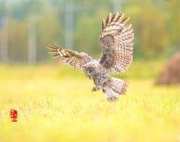 《无处可逃》—— 乌林鸮