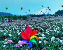 《美丽的芍药花开》(手机拍摄)