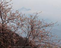 葛仙山中华樱花