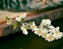 一枝梨花开